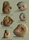 Ejemplos para el libro en la paleontología Fotos de archivo