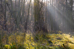 Ejes de la luz del sol en bosque Imagenes de archivo