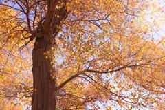 Ejina euphratica forest Stock Image