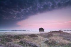 Ek i dyn med blomningljung på soluppgång Arkivbild