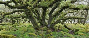 Ek i Wistmans trä Royaltyfri Foto