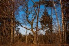 Ek- och björkträd i höstskog Royaltyfria Bilder