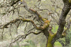 Ek som täckas med svampar Lichen Algae royaltyfria bilder