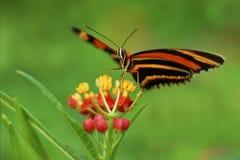 Ek Tiger Butterfly arkivfoton