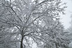 Ek under snön royaltyfri foto