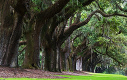Ekar av Boone Hall Plantation i South Carolina Royaltyfri Bild