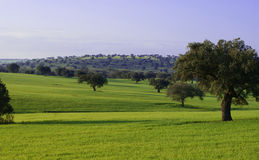 Ekar på grön äng Arkivbilder