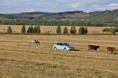 Ekaterinburg, Ural, Rosja Wrzesień 1, 2017 Cattleman w samochodzie! i krowy wypasa w łące kolor żółty który i obraz stock