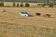 Ekaterinburg, Ural, Rosja Wrzesień 1, 2017 Cattleman w samochodzie! i krowy wypasa w łące kolor żółty który i obrazy royalty free