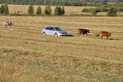 Ekaterinburg, Ural, Russia. September 1, 2017. The cattleman in the car !!! and cows that pasturing in the meadow of yellow and. Brown color far away. Fine royalty free stock images