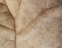 Ekblad, brunt, extrem closeup eller makro, åderuppvisning Fotografering för Bildbyråer