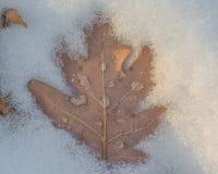 Ekblad i snön med smältta snövattendroppar på bladet - som tas i regulatorn Knowles State Forest i nordliga Wisconsin arkivbilder