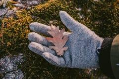 Ekbladhåll i hand i grön mossabakgrund Stäng sig upp sikt av det torra ekbladet i solnedgångljus, Fotografering för Bildbyråer