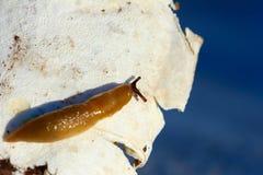 Ekelhafte Schnecke auf Pilzen Harmlos zu den Menschen, gefährlich zu den landwirtschaftlichen Anlagen Lizenzfreie Stockfotos