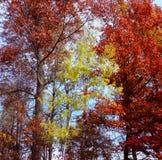 Eken kura ihop sig aspen - Minnesota Royaltyfri Bild