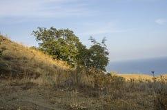 Eken växer på berglutningen mot bakgrunden av havet Arkivbild