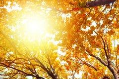 Ekfilialer med gula sidor på blå himmel och ljus solljusbakgrund, guld- natur för solig dag för höst, träd för nedgångsäsong royaltyfri bild