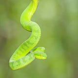 Ekiiwhagahmg snakes (snakes green) Royalty Free Stock Image
