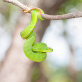Ekiiwhagahmgslangen (groene slangen) royalty-vrije stock foto