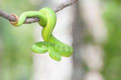 Ekiiwhagahmgslangen (groene slangen) royalty-vrije stock afbeeldingen