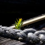 Eking out a living. A seedling growing on the side of an old wooden boat stock image