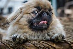 Ekingese ou cão do leão que mostra a língua Fotografia de Stock Royalty Free