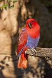 Eklektischer Papagei Stockbild