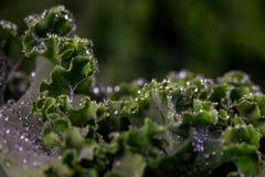 Eko Kale Stock Photography