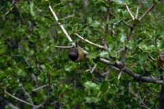 Ekollon i holmeken, skog i Utiel, Spanien Grönt lövrikt träd med små sidor Brun frukt från Quercusfaginea i Valencia Arkivfoto