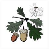 Ekollon och blad Arkivfoton