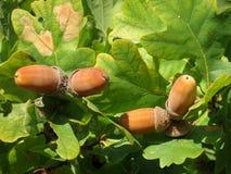 Ekollonar av en ek i höst Arkivfoto