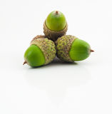 ekollonar green tre Royaltyfria Bilder