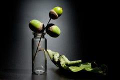 Ekollonar och sidor av eken i en glass kotte på en mörk bakgrund royaltyfri foto