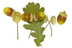 Ekollonar och torkat blad Arkivbild