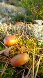 Ekollonar och visare på mossa på solnedgången i skog Royaltyfri Fotografi