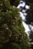 Ekollonar på ett träd Arkivfoto