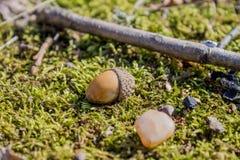 Ekollonar som ligger på mossa i skogen i solen Royaltyfri Fotografi