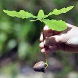 ekollonar växer lilla väldiga oaks Arkivfoto