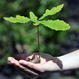 ekollonar växer lilla väldiga oaks Royaltyfri Foto