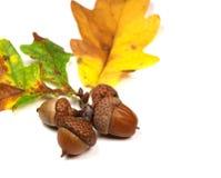 ekollonbakgrund Arkivfoto