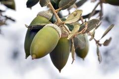 ekollonfrukter royaltyfri fotografi