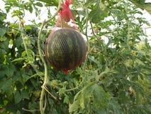 Ekologi för Avatiah växthusIsrael Arava frukter royaltyfri foto