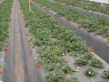 Ekologi för jordgubbeväxthusIsrael Arava frukter royaltyfri fotografi