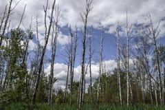 ekologia zła Wysuszony drzewnych bagażników stojak pionowy bagna obrazy stock