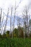ekologia zła Wysuszony drzewnych bagażników stojak pionowy bagna zdjęcia stock