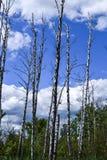ekologia zła Wysuszony drzewnych bagażników stojak pionowy bagna fotografia royalty free