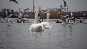 Ekologiczny problem jest białymi łabędź, kaczki i seagulls w porcie morskim nawadniają zdjęcie wideo