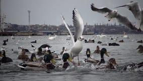 Ekologiczny problem jest białymi łabędź, kaczki i seagulls w porcie morskim nawadniają zbiory