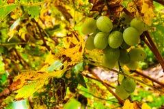 Ekologiczny winogrono Obraz Stock
