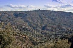 Ekologisk odling av olivträd i landskapet av Jaen Arkivbild